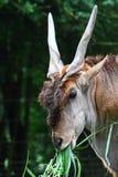 общяя головка eland Стоковая Фотография