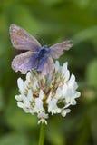 Общяя голубая бабочка (Polyommatus icarus) Стоковое Изображение