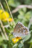 Общяя голубая бабочка (Polyommatus icarus) Стоковые Изображения