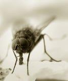 общяя дом мухы Стоковое фото RF