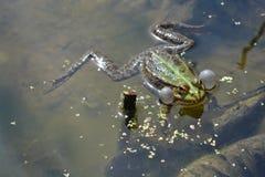 общяя европейская лягушка Стоковые Фотографии RF