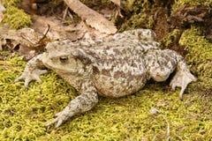 Общяя жаба Стоковые Фотографии RF