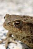 Общяя жаба Стоковое Изображение RF