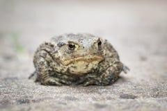 Общяя жаба Стоковая Фотография