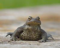 Общяя жаба Стоковая Фотография RF
