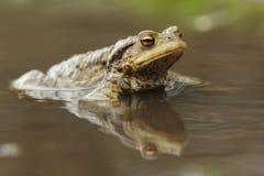 Общяя жаба (Bufo Bufo) Стоковая Фотография
