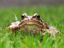 общяя лягушка Стоковое Фото