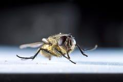 Общяя муха дома Стоковая Фотография RF