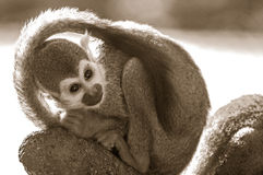Общяя обезьяна белки Стоковое Изображение RF