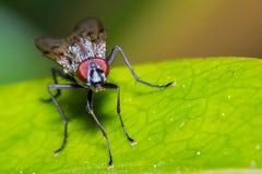 общяя дом мухы Стоковые Фото