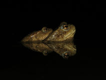 общяя сопрягая жаба Стоковые Фотографии RF