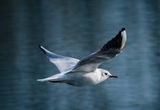 общяя чайка Стоковое Фото