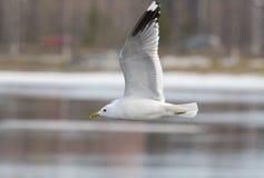 общяя чайка Стоковые Фотографии RF