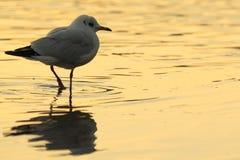 общяя чайка Стоковая Фотография