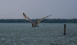 общяя чайка Стоковые Фото