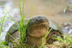 общяя щелкая черепаха Стоковая Фотография