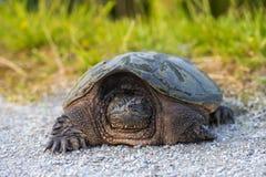 общяя щелкая черепаха Стоковые Изображения RF