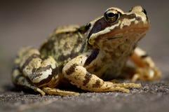 Общяя лягушка Стоковые Изображения