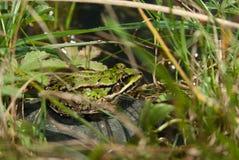 Общяя лягушка Стоковые Изображения RF