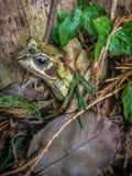 Общяя лягушка Стоковые Фото