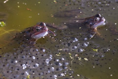 Общяя лягушка Стоковое Изображение RF