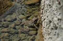 Общяя лягушка Стоковая Фотография RF