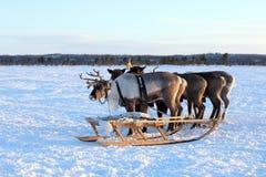 Объединяйтесь в команду северный отечественный северный олень на полуострове Yamal Стоковое Изображение