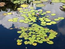 Объявление пусковых площадок лилии цветет плавать в пруд стоковые фотографии rf
