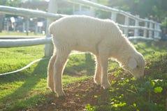 Объягнитесь ел траву на поле Стоковое Изображение RF