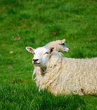 объягнитесь овцы Стоковое Изображение RF