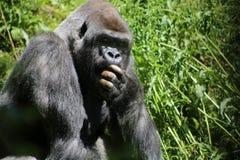 Объятая страхом горилла Стоковое Фото
