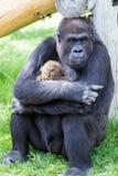 Объятие гориллы Стоковое Фото