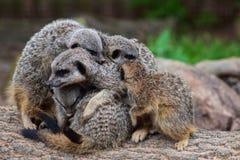 Объятие Meerkat Стоковое Изображение RF