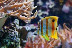 Обыкновенно вызываемое rostratus Chelmon Butterflyfish Copperband, также клювом Coralfish Стоковое фото RF
