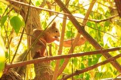 Обычная белка красивый redhead спуская вдоль ветви дерева к ринву еды стоковая фотография