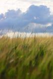 Облачное небо урожая ячменя растущее нижнее Стоковые Изображения RF