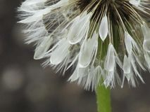 Облитые семена одуванчика стоковые фото