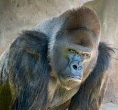 Обдумывать гориллы Стоковая Фотография