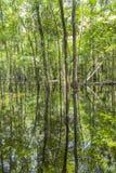 Облыселые деревья отражая в воде стоковые изображения rf