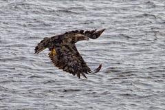облыселый орел Канады Стоковые Изображения