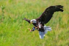 облыселый орел северный Стоковые Фото