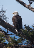 облыселый орел стоковое изображение