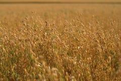 овес поля урожаев Стоковые Фото