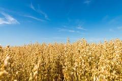 овес поля золотистый Стоковые Фото