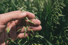 Овес фермера рассматривая подрезывает в поле, конце вверх руки Стоковые Фото