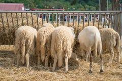 5 овец есть солому в ферме Стоковое Изображение
