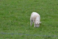 Овечка в поле Стоковые Фото