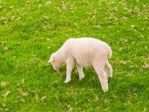 Овечка есть траву Стоковые Фото