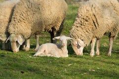 Овечка и овцы Стоковое фото RF
