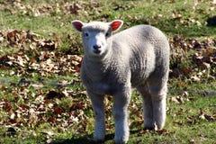 овечка немногая сладостное Стоковое фото RF